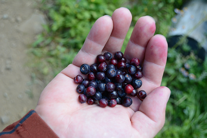 picking huckleberries in idaho