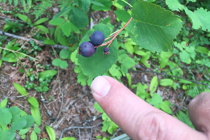 We are pretty sure this is a serviceberry... we ate one anyhow and didn't die hahaha!