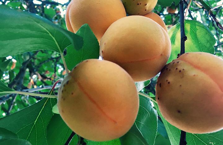 apricots-fresh