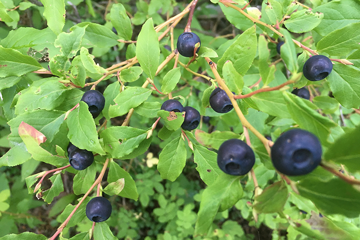 We've been picking so many huckleberries that I see them at night when I close my eyes!
