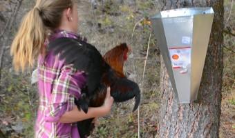 chicken-slaughtering